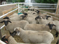 Nice group of replacement  or feeder lambs