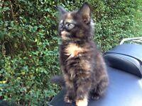 Beautiful tortoiseshell kitten for sale