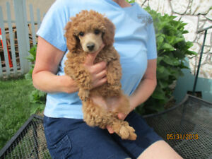 CKC Reg'd. Male Miniature Poodle - Placed