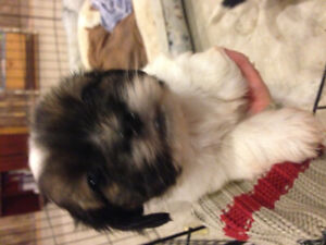 2 little shihtzu puppies looking for their forever home