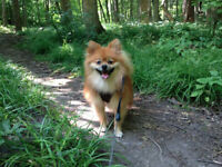 Wanted: Wanted: Ride from London to Toronto. * + Small Pomerania