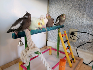 Many colors Cockatiels  babies AVAILABLE