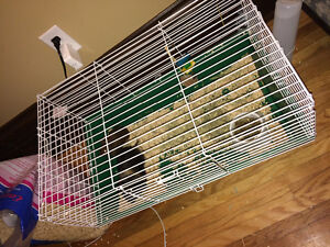 Baby guinea pigs with all supplies and more