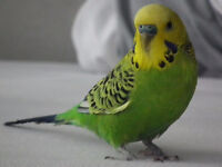 2 Cute and Loving Budgies - They come with everything!