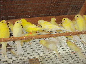 Yellow Canaries. London Ontario image 1