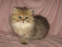 CHATON PERSAN GOLDEN SHADED PURE RACE