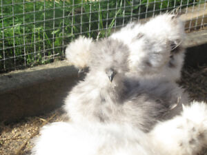 Are you looking for the perfect pet bird? Silkies beautiful