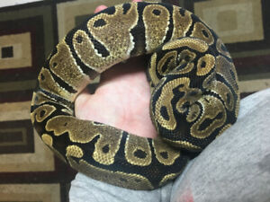 Snakes/rack/accessories/thermostat