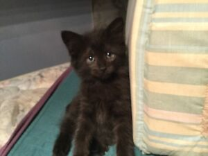 Bear : Adorable kitten ready for ADoption