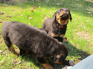 CKC Rottweiler puppies for sale