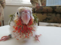 ** HIGH RED HANDFED BABY PINEAPPLE CONURE**1 LEFT TO RESERVE**