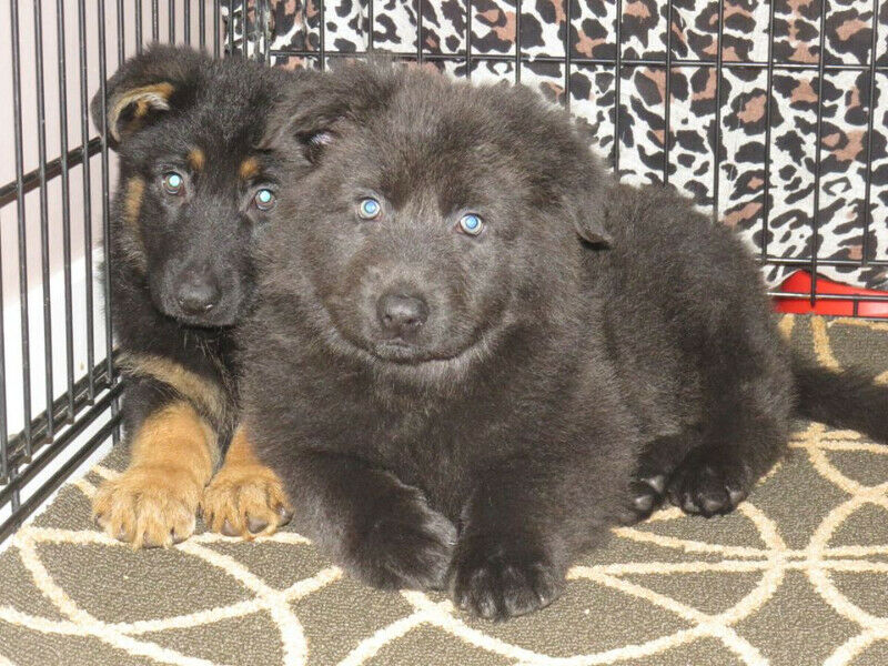 Blue and Isabella German Shepherd puppies | Dogs & Puppies for sale in Italy