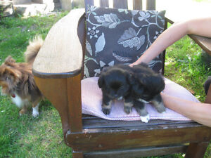 POM/CHI/CHIN PUPPIES - TWO LEFT!