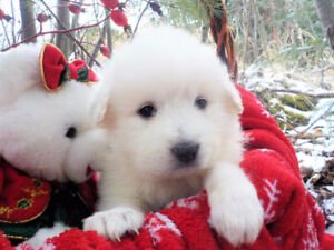 Fluffy Great Pyrenees Guardian Puppies