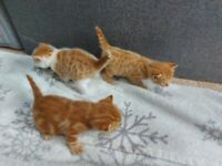 3 beautiful ginger kittens