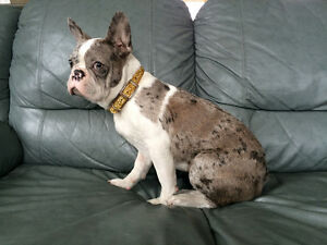 Buster, Gorgeous French Bulldog Puppy Available. Rare Colour