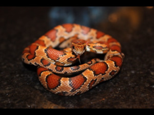 Refuge/ adoption de reptiles