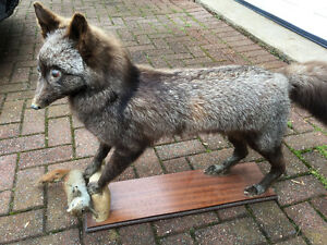 Silver fox with squirrel mounted and stuffed