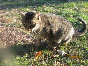 Tabby Cat Looking for Home