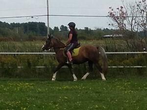 Magnifique poney Welsh Palomino