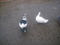 2 male and 2 female  Muscovy ducks