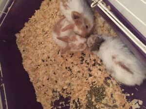 Mama lop and three beautiful babies for sale ..
