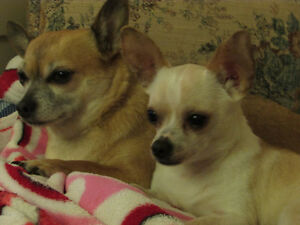 Senior N/S with 2 Chihuahuas wants to Share Your Home