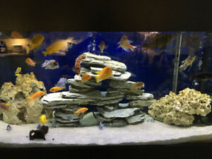 African Cichlids For Sale / Trade Make an offer!
