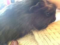 **LAST OF** Long haired baby Guinea pig
