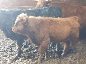 Scottish Highland / Dexter beef bull calf - cattle