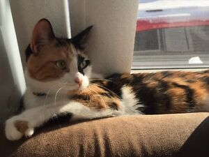 Chatte calico