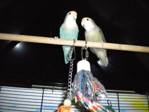 large cage and lovebirds