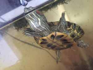 Red-eared slider turtle for sale