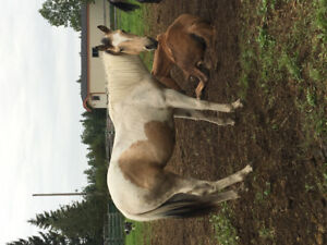 Yearling Paint filly