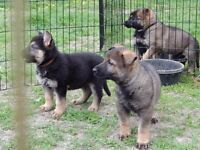 berger allemand ( chiots pure ) German Shepherd ( puppies )