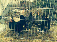 Quick sale Beautiful pullets just starting to lay. Hens Chickens