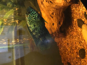 Electric blue jack Dempsey for trade