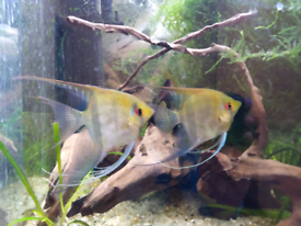 4x Angel adult fishes