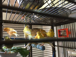 wow wow, 6 canaris tres belle couleur