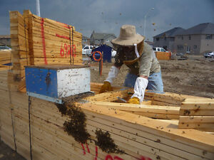 BEES! Bee swarm removal and Bee nest extraction - London London Ontario image 2