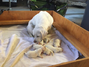 CKC registered Yellow Labrador Puppies