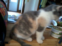 Calico Ragdoll cross female
