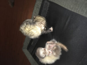 2 ferrets with cage