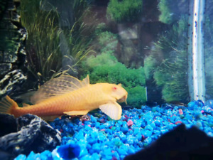 Gold fish looking for a new home(picture 2)