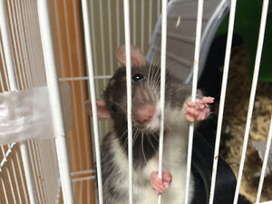 3 month old female rat looking for new home