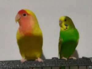 Paired lovebird and budgie must go together