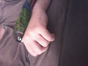Lost green cheek conure - Haswell