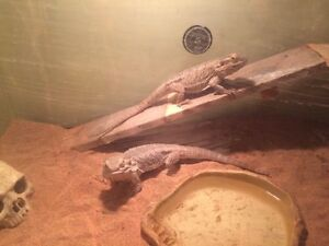 2 beardies with complete set up