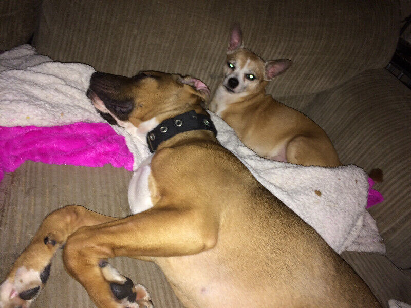 WANTED : SMALL FEMALE DOG TO MATE WITH MY MALE DOG | Dogs & Puppies