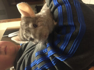 Urgent - Silver/Grey Chinchilla - Needs Forever Home